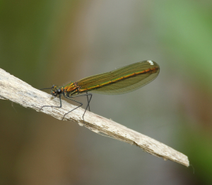 Banded Demoiselle, with Lunch