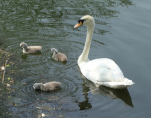 Mute Swan, with Cygnets