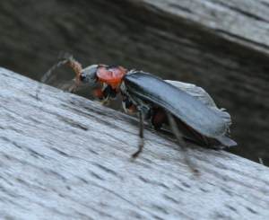 Soldier Beetle, possibly Cantharis fusca