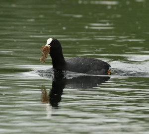 Another Coot.  This time with nesting material.