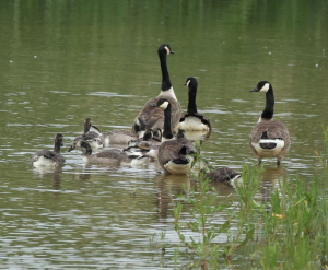 Canada Geese, juveniles developing adult markings