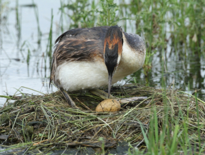 Great Crested Grebes' Nest