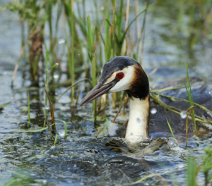 A Very Wet Great Crested Grebe
