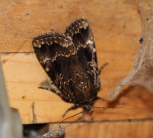 Unidentified Moth - Copper Underwing?