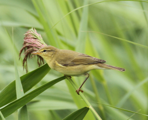 Willow Warbler - I Think...