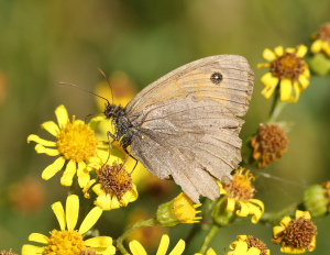 Very Tatty Meadow Brown