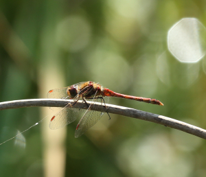 Common Darter, Male