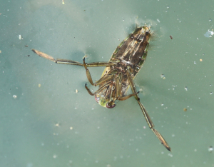 Water Boatman or Backswimmer