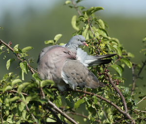 Wood Pigeon, Startled Whilst Preening