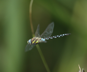 Migrant Hawker in Flight