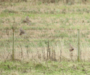 Red Legged Partridges