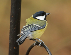 Great Tit, Ringed