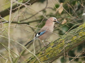 Jay, Feeding on Branch