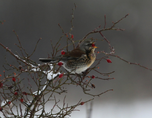 Fieldfare and Rose Hips