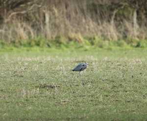 Grey Heron in  a Field