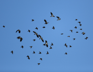 Starlings and Lapwings