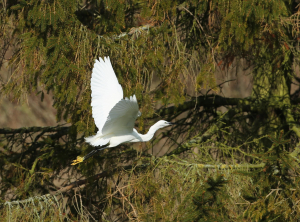 Little Egret, Cress Beds, Whitwell, 2013-02-17 003