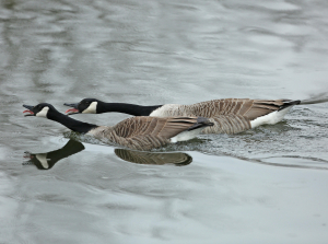 Canada Geese Honking