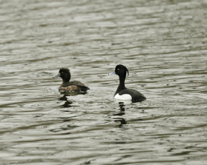 Tufted Duck, Pair