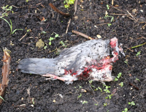 Feral Pigeon, Remains of Sparrowhawk Attack