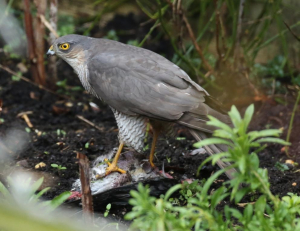 Sparrowhawk, with Feral Pigeon