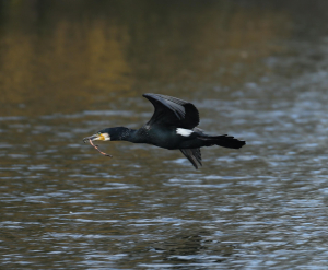Cormorant with Nesting Material