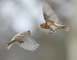 Lesser Redpoll, in dispute