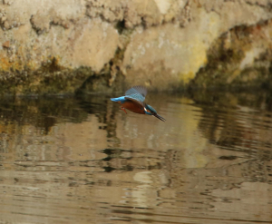 Kingfisher ...well, FISHING