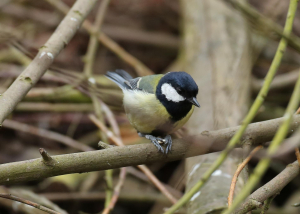Great Tit With Seed