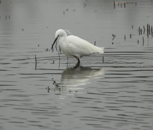Little Egret, Fishing