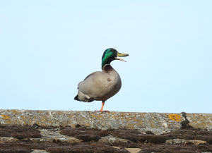 Mallard, on roof, Woolgrove Road, 2013-04-17 004