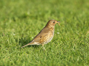 Songthrush with Caterpillar