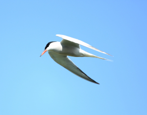 Common Tern, River Ivel, 2013-04-25 001