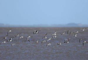 Bar Tailed Godwits, Oystercachers and the odd Knot