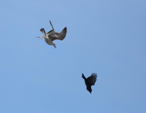 Gull/Crow Conflict