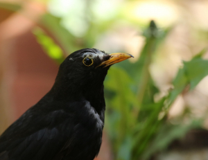 Blackbird with Lost Feathers