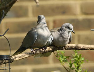 Collared Dove, pair, Franklin Gardens, 2013-05-06 005