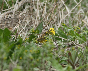 Uncooperative Yellowhammer