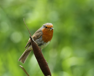 Robin, on Reed Mace, with flying insect