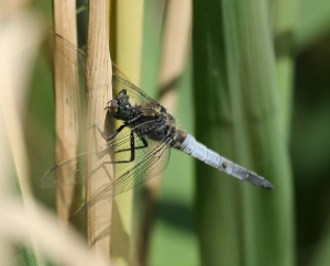 Black Tailed Skimmer with Possible Parasite