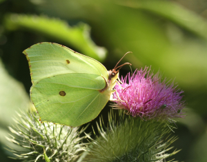 Brimstone Butterfly