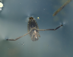 Backswimmer with Prey