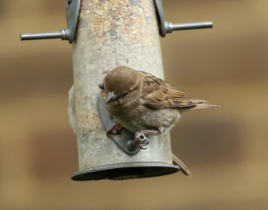 House Sparrow with a Tick