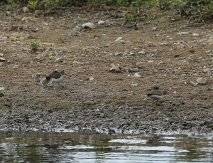 Common Sandpipers