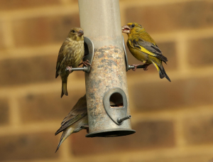 Greenfinches