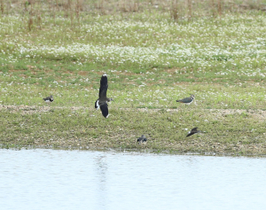 Lapwings Chasing Green Sandpipers