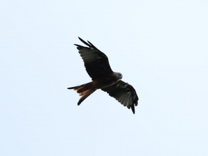 Red Kite, Tagged