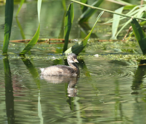 Little Grebe, Juvenile