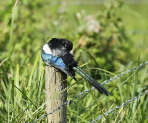 Magpie, Preening in the Sun