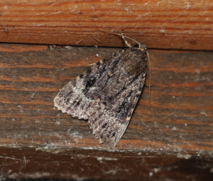 Copper Underwing or Svensson's Underwing